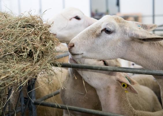 Salon de l'Agriculture - Les animaux de la ferme