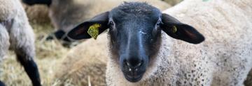 Mouton au Salon de l'agriculture